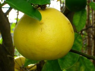 Il Pompelmo o Citrus Paradisi - Nutrizionista Bologna - Dott.ssa Serena Tassinari